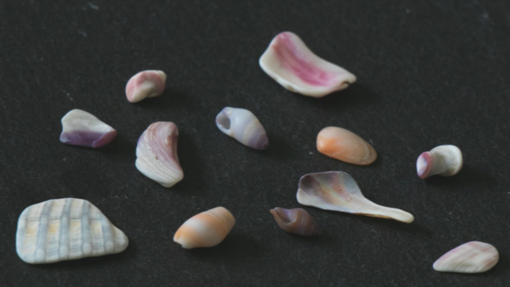 村上市、瀬波温泉海水浴場で集めたカラフルな貝殻